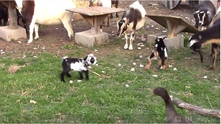 Bouncing baby goats will brighten your day  - Video