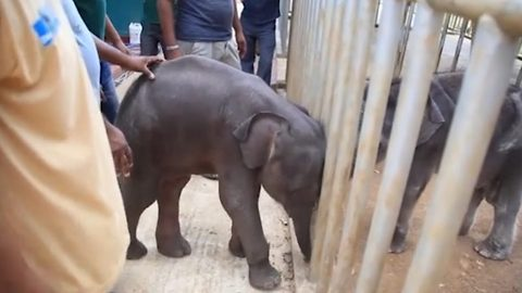 The tables have turned: Hilarious moment fiesty baby elephant chases after its rescuers is caught on camera