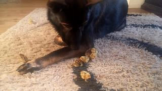German Shepherd meets newly hatched quails