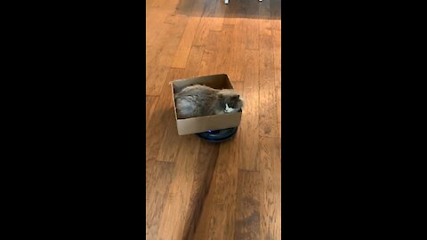 Cat sits in cardboard box while riding robot vacuum