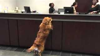 Gracie the Official Golden Greeter - Video