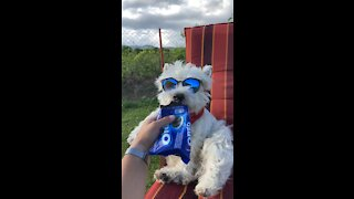 Super cool dog munches on tasty Oreo treat