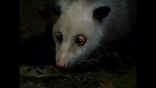Heidi The Cross-Eyed Opossum Makes Comeback - Video