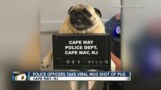 'Pug shot' photo takes internet by storm - Video