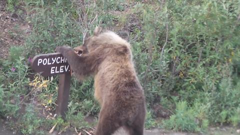 Big Brown Bear Tears Down A Wooden Road Sign