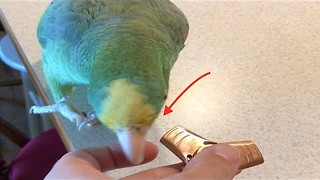 Parrot Shows What She Really Thinks of Fidget Spinners - Video