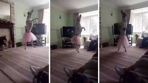 Get him some ballet pups: Excited pooch performs ballet for family wearing tutu