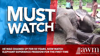He Was Chained Up For 50 Years. Now Watch Elephant Experience Freedom For The First Time - Video