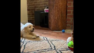 Cute Puppy Humorously Attacks New Toy