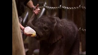 Baby Elephants From Wuppertal - Video