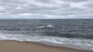 Shark Attacks Seal at Cape Cod Beach - Video