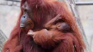 Bornean Orangutan Baby Makes Debut at Tampa's Lowry Park Zoo - Video