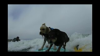 Surfing dog pulls off epic board transfer