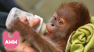 Rieke the Baby Orangutan Moves to England - Video