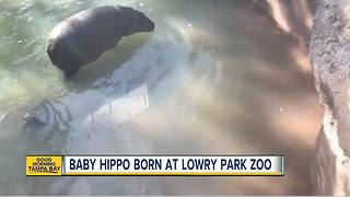 Baby hippo born at Lowry Park Zoo - Video