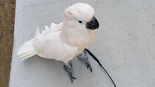 Cockatoo goes for walk while wearing a leash