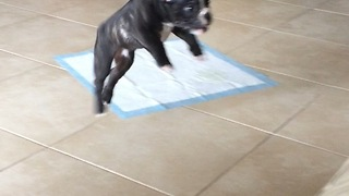 Puppy adorably fails at jumping on the couch - Video