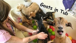 Baby Goats Party in Bath Tub - Video