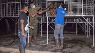 Three critically endangered orangutans are returned to the Bornean Rainforest - Video