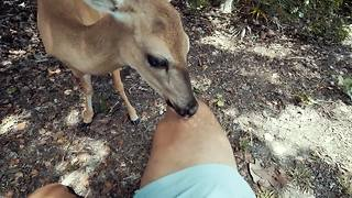 Friendly wild deer licks man's leg - Video