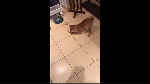 Shiba Inu puppy struggles to eat his veggies