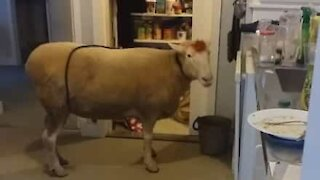 Sheep caught red-handed stealing food