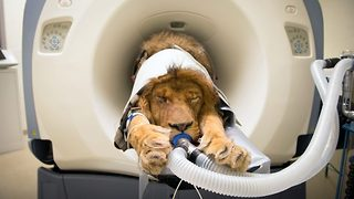 Now that's a cat scan! Zoo uses pioneering technology to perform a cat scan on lion with sore gums - Video