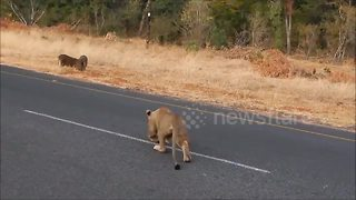 Stealthy lioness attacks warthog - Video