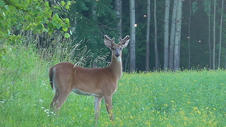 Deers afield - Video