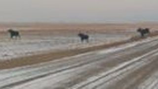 Moose Crossing Causes Short Traffic Delay After Saskatchewan Snowstorm - Video