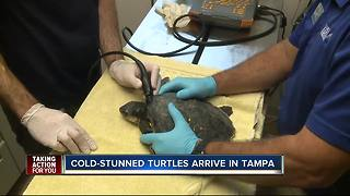 Cold-stunned turtles arrive in Tampa - Video