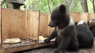 Activist documents feeding time routine for orphaned bear cubs - Video