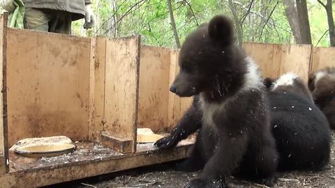 It's Feeding Time For These Cute Orphaned Bear Cubs