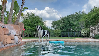 Happy Great Dane Loves Sipping and Dipping His Toes In the Pool