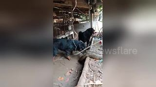 Python attacked by three pet rottweilers