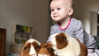 Doting One-year-old Becomes Best Friends With Her Three Pet Guinea Pigs