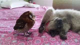 Playful Kitty Wants Owl Pal to Give Her Attention - Video