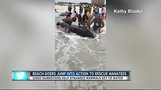 Over 100 People Help Save Stranded Manatees On The Beach  - Video