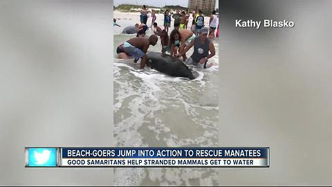 Over 100 People Help Save Stranded Manatees On The Beach