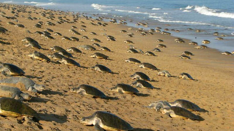'Millions' of newly hatched Olive Ridley turtles swarm Indian beach