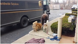 UPS Driver Stops By To Give Treats To Waiting Dogs - Video