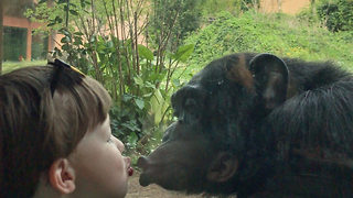 Affectionate Chimpanzee Puckers Up To A Boy Through Zoo Window - Video