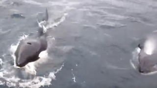 Multiple Orcas Spotted in the Shetlands - Video