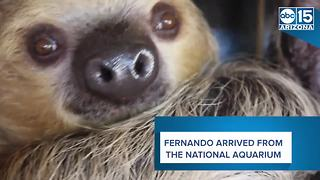 Meet Fernando: Phoenix Zoo's first sloth - ABC15 Digital - Video