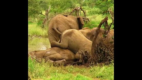 Young elephant's awkward attempt climbing over his big brother during mud bath