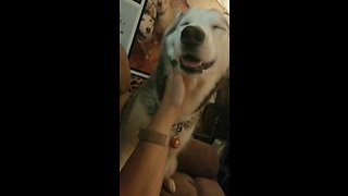 Super needy husky demands owner's unceasing affection