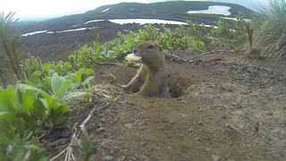 Arctic ground squirrel loves to be on camera - Video