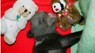 Baby Bears Adopted at the Gauja National Park - Video