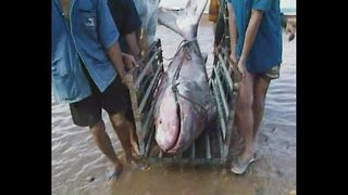 Giant Catfish Returns To Mekong River - Video