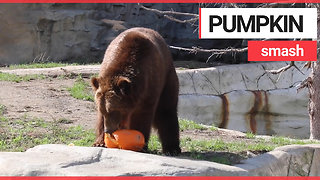 Animals at US zoo given pumpkins to play with